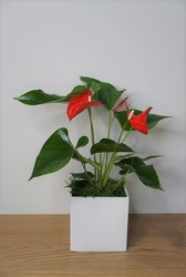 Anthurium Plant from Metropolitan Plant & Flower Exchange, local NJ florist