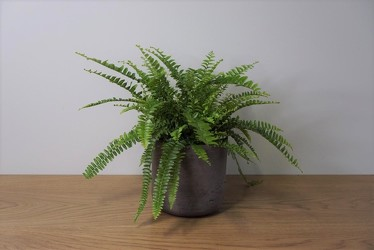Boston Fern from Metropolitan Plant & Flower Exchange, local NJ florist