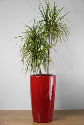 Dracaena Marginata from Metropolitan Plant & Flower Exchange, local NJ florist