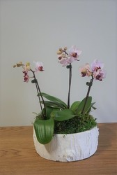 Mini Potted Phalaenopsis from Metropolitan Plant & Flower Exchange, local NJ florist