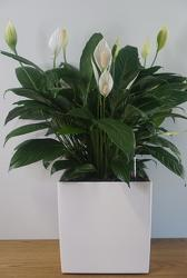Peace Lily from Metropolitan Plant & Flower Exchange, local NJ florist