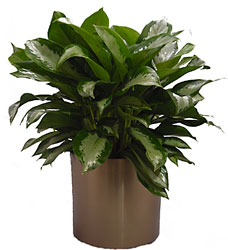 Chinese Evergreen from Metropolitan Plant & Flower Exchange, local NJ florist