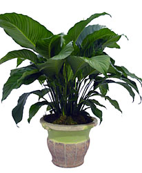 Spathiphyllum (Peace Lily) from Metropolitan Plant & Flower Exchange, local NJ florist