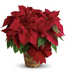 Red Poinsettia  from Metropolitan Plant & Flower Exchange, local NJ florist