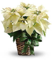 White Poinsettia from Metropolitan Plant & Flower Exchange, local NJ florist