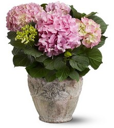 Hydrangea Plant from Metropolitan Plant & Flower Exchange, local NJ florist