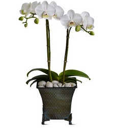 Phalaenopsis Orchid from Metropolitan Plant & Flower Exchange, local NJ florist