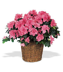 Azalea Plant from Metropolitan Plant & Flower Exchange, local NJ florist