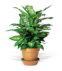 Dieffenbachia from Metropolitan Plant & Flower Exchange, local NJ florist