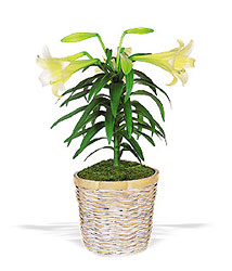 Easter Lily from Metropolitan Plant & Flower Exchange, local NJ florist